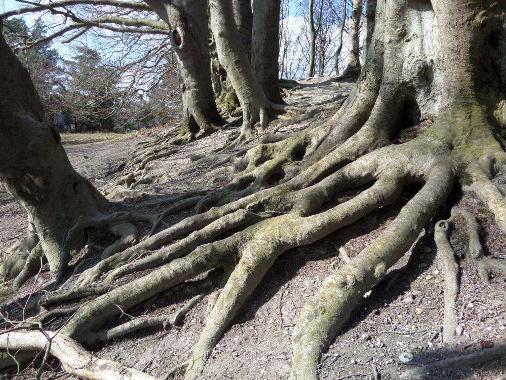 harlington-walks-tree-roots