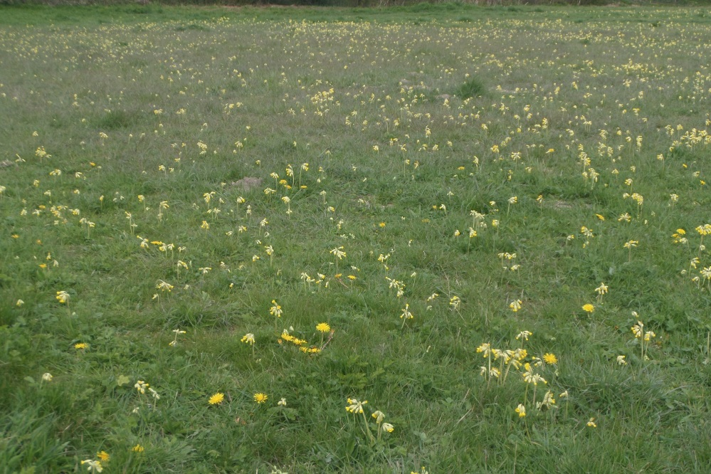warden-hills-near-harlington-cowslips