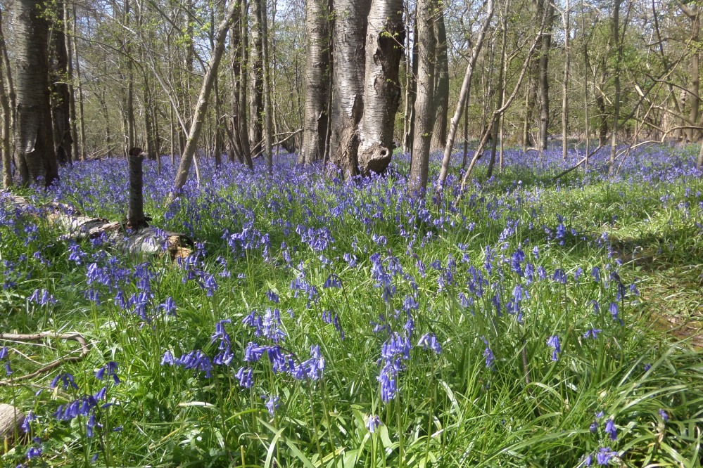a-blue-bell-wood-near-harlington-beds
