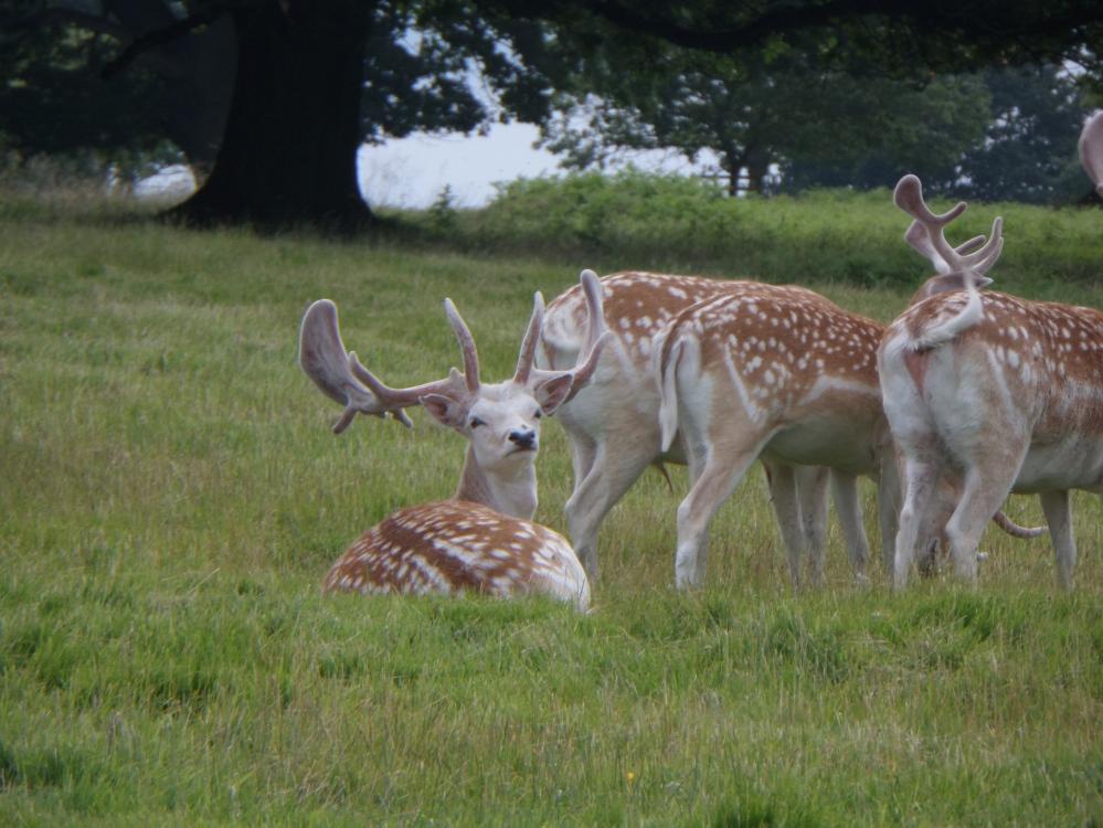 millenium-circular-walk-wobern-deer