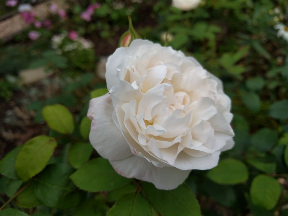 rose-winchester-cathedral-the-pilgrims-way