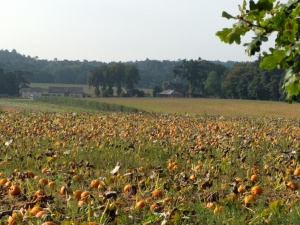 pumpkin-field-on-the-pilgrims-way