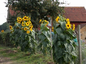 sunflowers-on-the-pilgrims-way