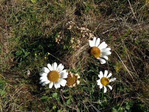 wild-flowers-along-the-pilgrims-way