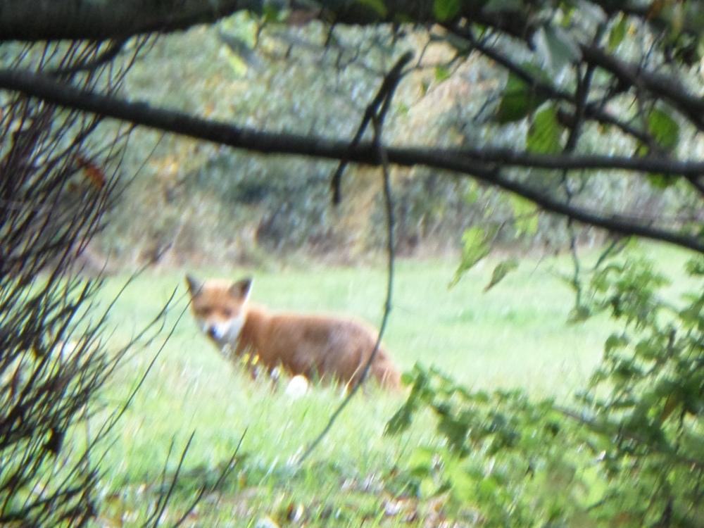 flitwick-moor-walk-fox