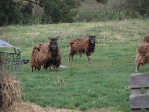 sheep-on-flitwick-moor