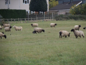 sheep-on-flitwick-moor