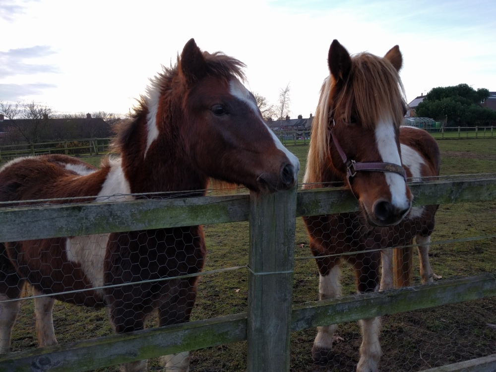 ponies-just-outside-maulden