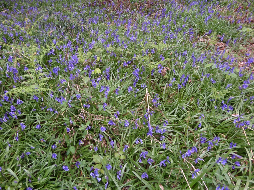 bluebells-along-the-herts-way