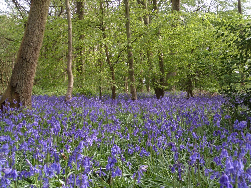 landpark-wood-bluebell-wood