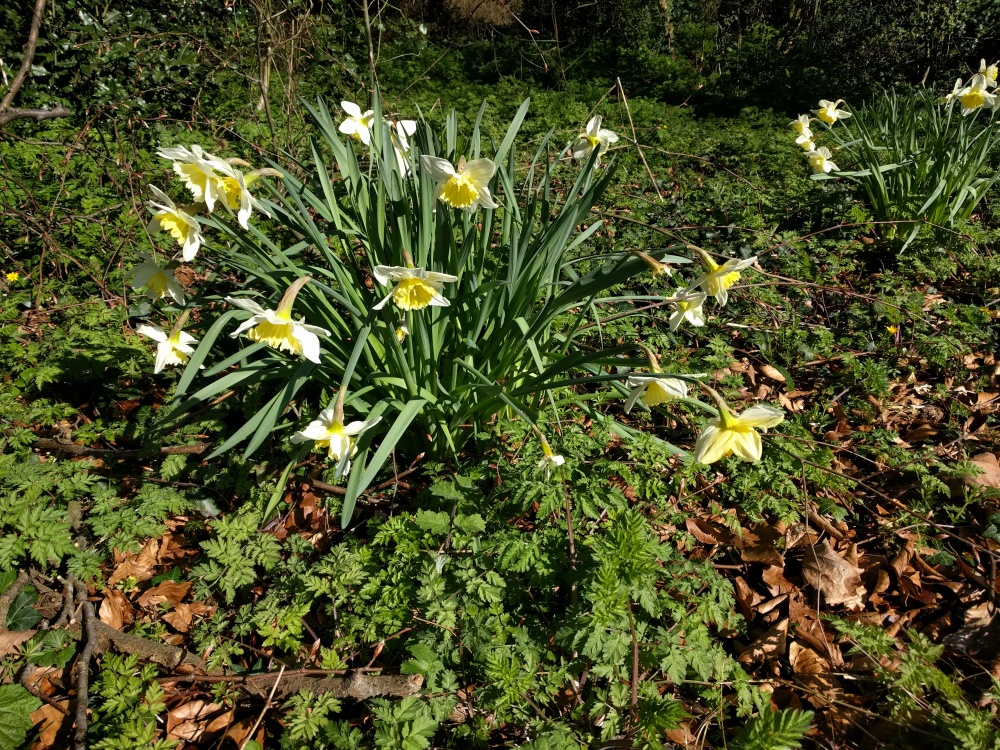 daffodils-st-albans-green-ring