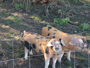 pigs-at-dyers-hall-farm