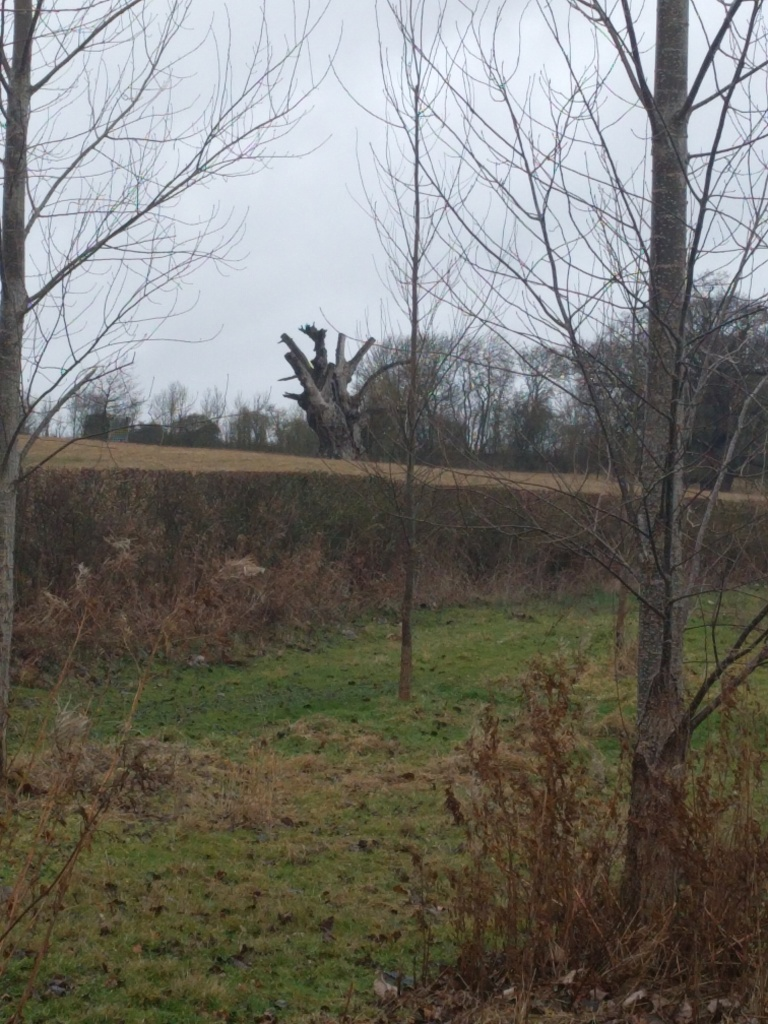 bunyan's-oak'harlington